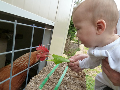 James feeding the chooks lettuce with Grandma