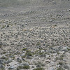 first glimpse of vicuñas