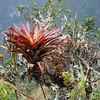 big bromeliad