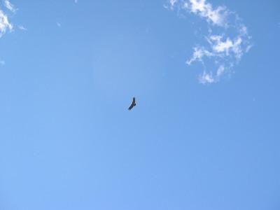 Condor: A condor comes to check us out.