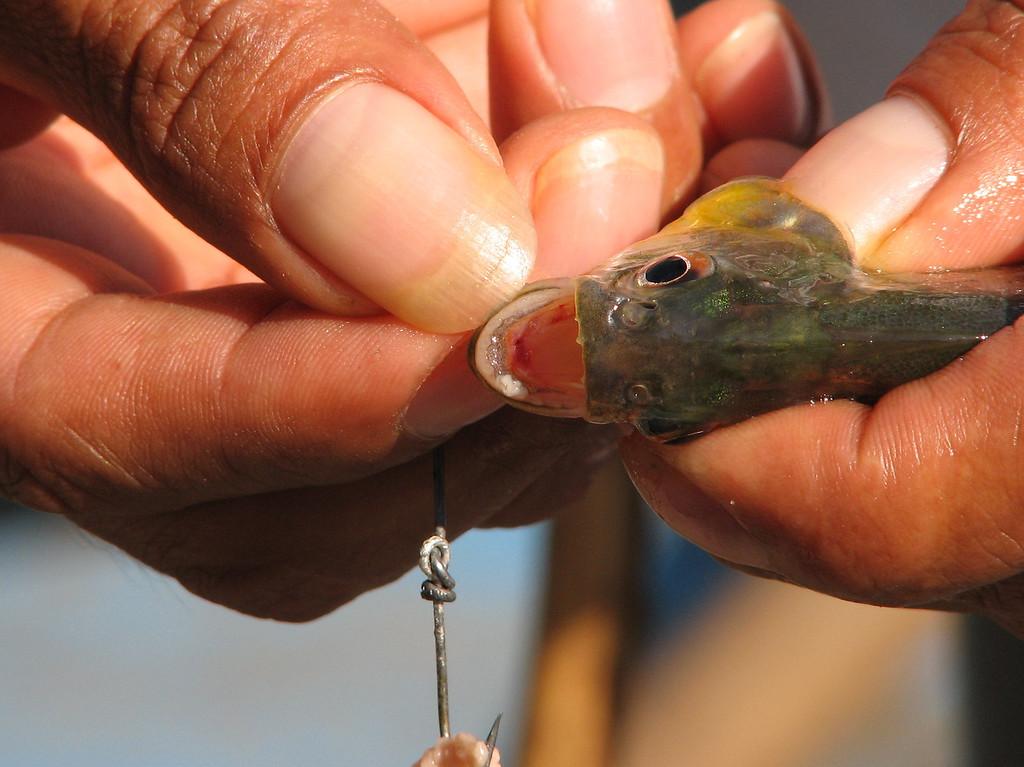 A baby piranha