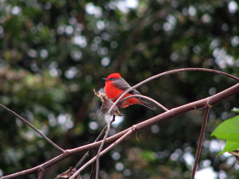 A Vermillion Flycatcher