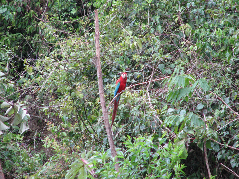 A Macaw at the clay lick, one of many on the last morning