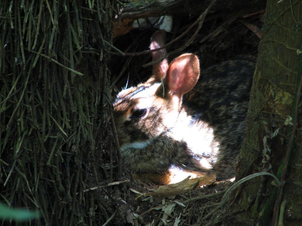 A Brazillian Hare