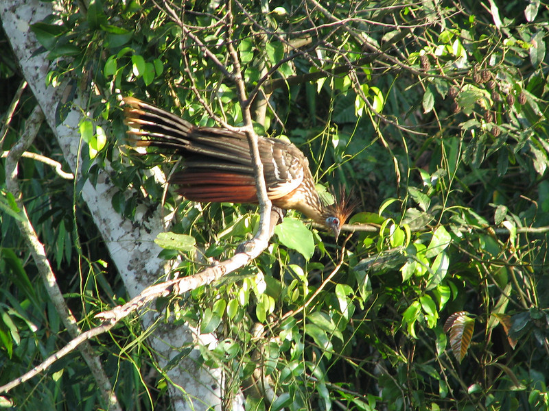 Hoatzin, a bizarre looking tropical bird with claws for climbing on its wings