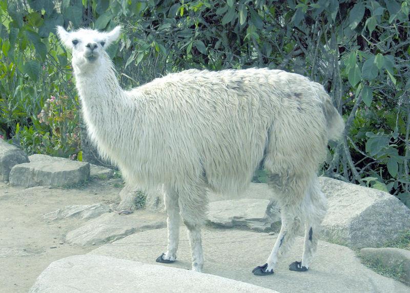An inquisitive llama, Machu Pichu, Peru