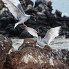 Swallow-tailed gulls contesting a position on a rock on North Seymour.<br /> January 30, 2011
