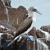 Blue-footed Booby on North Seymour Island.<br /> January 30, 2011