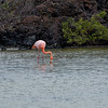 "Flamingo in a small inland pool on Santa Cruz Island near the beach known as ""Las Bachas"".<br /> January 29.2011"