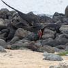Frigatebird dips to gather nesting material.<br /> North Seymour Island<br /> January 30, 2011