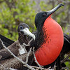 Male and female (Magnificent?) Frigatebirds on North Seymour Island<br /> January 30, 2011