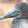 Close encounter with an immature Blue-footed Booby on North Seymour Island.<br /> January 30, 2011