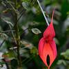 Masdevallia vetchiana Orchid.