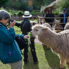 Beth feeding alfalfa to an alpaca while trying to get his portrait.