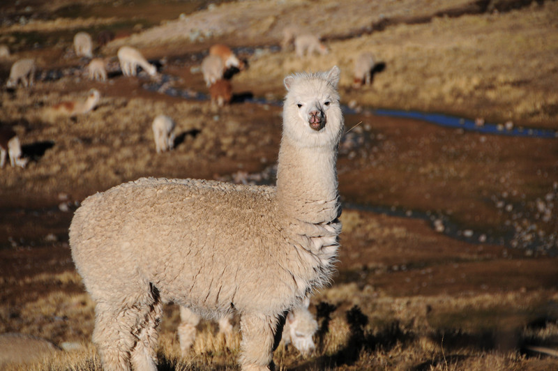 Llamas along the Cayarani - Suyckutambo - Caylloma road. Peru