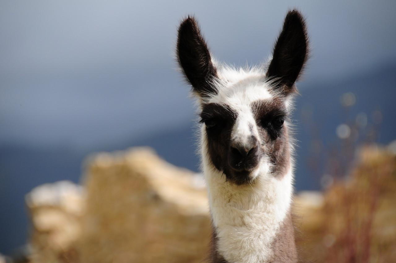 Llama atKuelap pre-Inca ruins. Peru