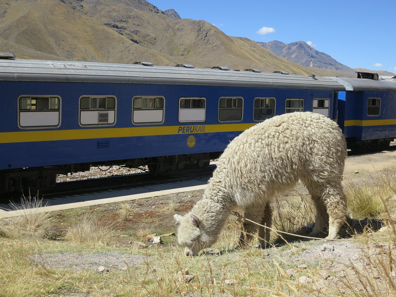 An alpaca and a train. How poetic?
