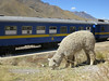 An alpaca and a train. How poetic?