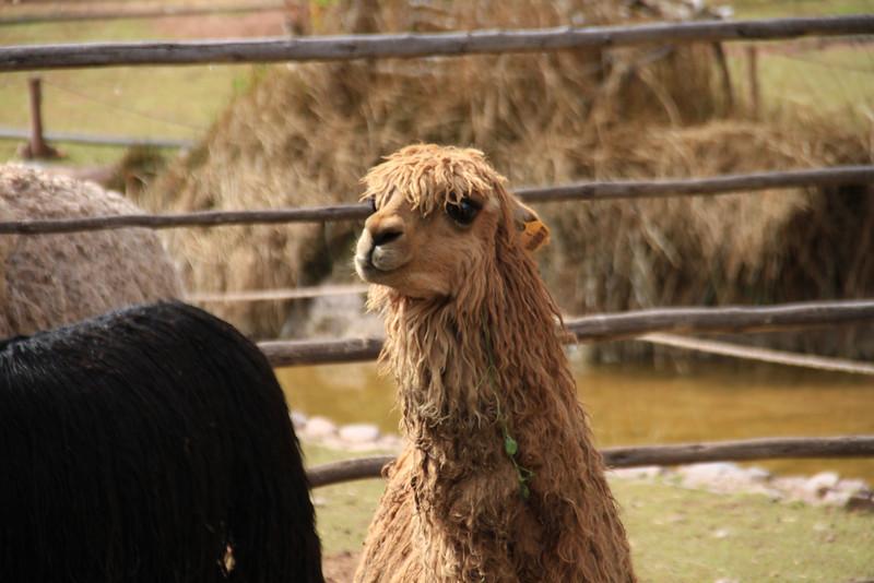 Goth llama!