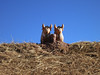 "Another set of the ""good luck bulls""/toritos de Pucara - note that these bulls are flanking a chullpa!"