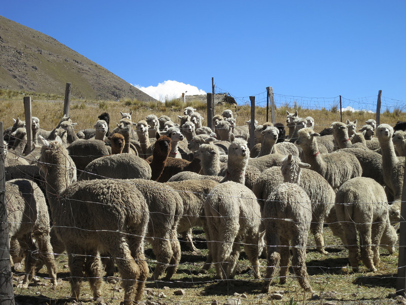 Llamas and Alpacas are awesome - they all turn and watch you at the same time. Except those few guys in the front.