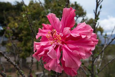 Hibiscus -  rosa sinensis.