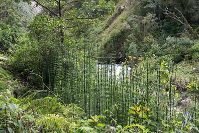 Horsetails, Equisetum myriochaetum.