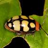 Peru 2014: Tamshiyacu-Tahuayo Reserve - Unidentified Flea Beetle (Chrysomelidae: Galerucinae: Alticini)
