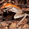 Peru 2014: Tamshiyacu-Tahuayo Reserve - Fleshbelly Frog (Craugastoridae: Pristmantis peruvianus)