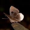 Peru 2014: Tamshiyacu-Tahuayo Reserve - Eyemark butterfly (Riodinidae: Riodininae: Mesosemiini: Mesosemia sp.; M. metope or M. nyctea)