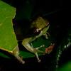 Peru 2014: Tamshiyacu-Tahuayo Reserve - Tree Frog (perhaps Craugastoridae: Pristimantis sp.)