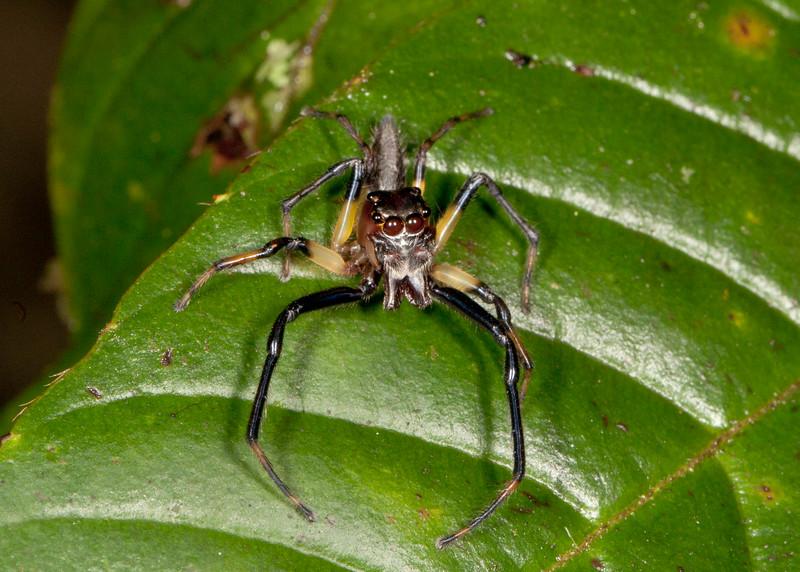 Peru 2014: Tamshiyacu-Tahuayo Reserve - Jumping Spider (Salticidae)