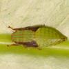 Peru 2014: Tamshiyacu-Tahuayo Reserve - Leafhopper nymph (Cicadellidae: Gyponinae)