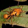 Peru 2014: Tamshiyacu-Tahuayo Reserve - Canopy Ant (Formicidae: Myrmicinae: Daceton armigerum)