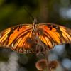 Peru 2014: Tamshiyacu-Tahuayo Reserve -  'Lucina' Longwing (Nymphalidae: Heliconiinae: Heliconiini: Agraulis vanillae lucina)