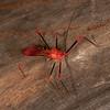 Peru 2014: Tamshiyacu-Tahuayo Reserve - Assassin Bug (Reduviidae: Harpactorinae: Ricolla sp.)