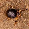 Peru 2014: Tamshiyacu-Tahuayo Reserve - Handsome Fungus Beetle (Endomychidae: Lycoperdininae: Corynomalus sp.)