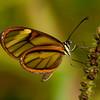 Peru 2014: Tamshiyacu-Tahuayo Reserve - Cymo Clearwing (Nymphalidae: Danainae: Ithomiini: Mcclungia cymo)