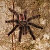 Peru 2014: Tamshiyacu-Tahuayo Reserve - Pinktoe Tarantula (Theraphosidae: Avicularia avicularia)