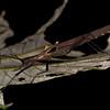 Peru 2014: Tamshiyacu-Tahuayo Reserve - Flying Stick Insect (Pseudophasmatidae: Pseudophasmatinae: Pseudophasma sp.; probably P. castaneum blanchardi) with a parasitic 'Stick Tick' (Ceratopogonidae: Forcipomyiinae: Forcipomyia [Microhelea] sp.)