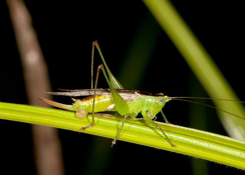 Peru 2014: Tamshiyacu-Tahuayo Reserve - Conehead or Meadow Katydid (Tettigoniidae: Conocephalinae: Conocephalus sp.) recently mated female with spermatophore