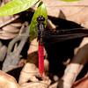Peru 2014: Tamshiyacu-Tahuayo Reserve - Flame-tailed Pondhawk (Libellulidae: Erythemis peruviana) male