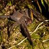 Peru 2014: Tamshiyacu-Tahuayo Reserve - Brazilian Wandering Spider (Ctenidae: Phoneutria sp.; probably P. boliviensis)