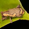 Peru 2014: Tamshiyacu-Tahuayo Reserve - Unidentified weevil (Curculionidae)