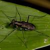 Peru 2014: Tamshiyacu-Tahuayo Reserve - Tiger Beetle (Carabidae: Cicindelinae: Cicindelini: Odontocheila sp. possibly O. chrysis)
