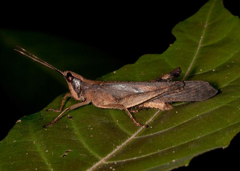Peru 2014: Tamshiyacu-Tahuayo Reserve - Romaleid Grasshopper (Romaleidae: Romaleinae: Phaeopariini: Phaeoparia aequatorialis, P. tingomariae or P.  lineaalba)