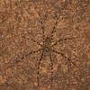 Peru 2014: Tamshiyacu-Tahuayo Reserve - Trechaleid Spider (Trechaleidae: probably Syntrechalea sp.)