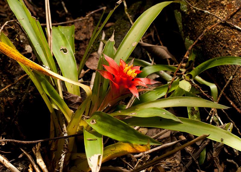 Peru 2014: Tamshiyacu-Tahuayo Reserve - Bromeliad (Bromeliaceae: Guzmania sp.)