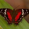 Peru 2014: Tamshiyacu-Tahuayo Reserve - Scarlet Peacock (Nymphalidae: Nymphalinae: Anartia amathea)