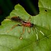 Peru 2014: Tamshiyacu-Tahuayo Reserve - Unidentified Ichneumon Wasp (Ichneumonidae)